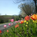overlooking tulips(1)